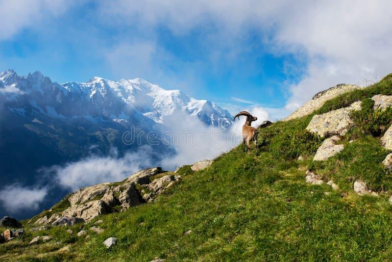 Schöne Berglandschaft mit Bergziege in den französischen Alpen nahe dem Lac Blanc-Massif vor der Kulisse des Mont Blanc stockbild