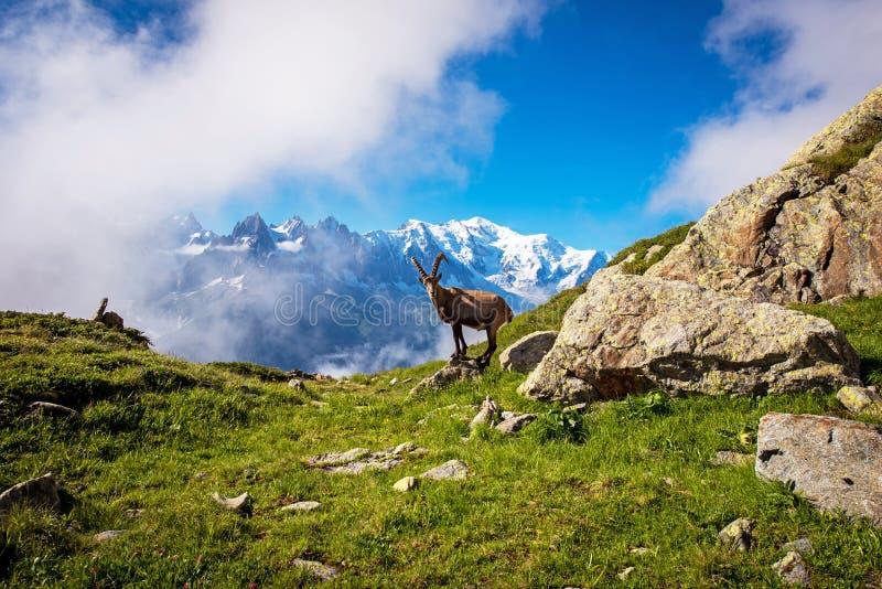 Schöne Berglandschaft mit Bergziege in den französischen Alpen nahe dem Lac Blanc Massif vor der Kulisse des Mont Blanc stockfotografie