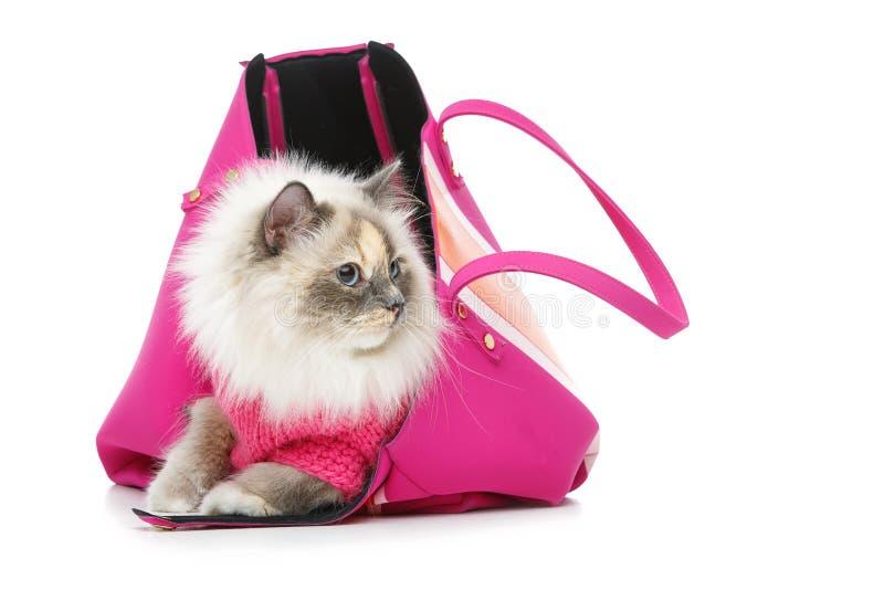 Schöne birma Katze im rosa Pullover stockfoto