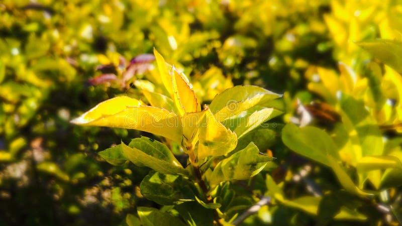 Schöne Blätter der goldenen Tautropfenanlage lizenzfreie stockfotos