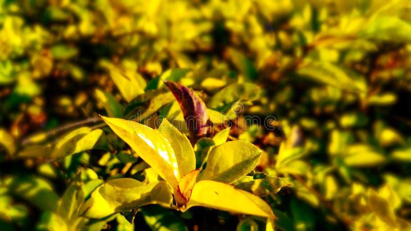 Schöne Blätter der goldenen Tautropfenanlage stockbild