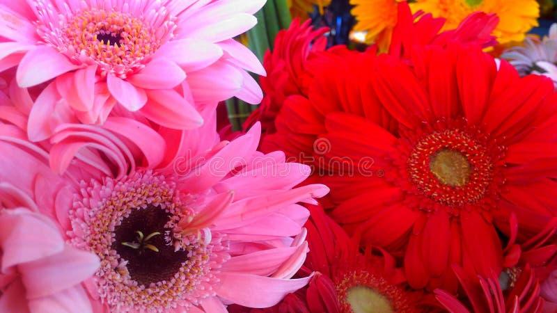 Schöne blühende Blumen des Rosas und des Rotes stockfotografie