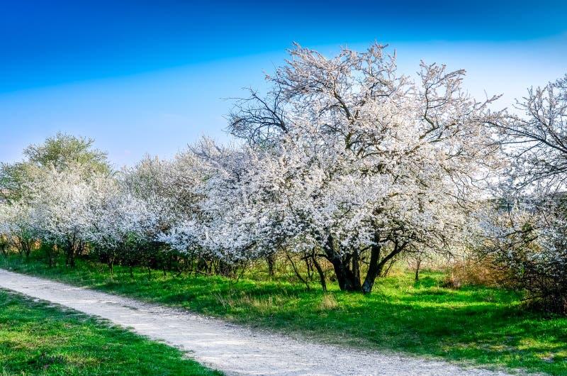 Schöne blühende Frühlingsbäume und eine Straße stockbild
