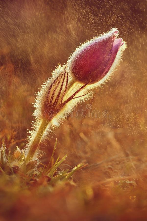 Schöne blühende Frühlingsblumen Natürlicher farbiger unscharfer Hintergrund (Pasque Flowers - Pulsatilla grandis) stockfotografie