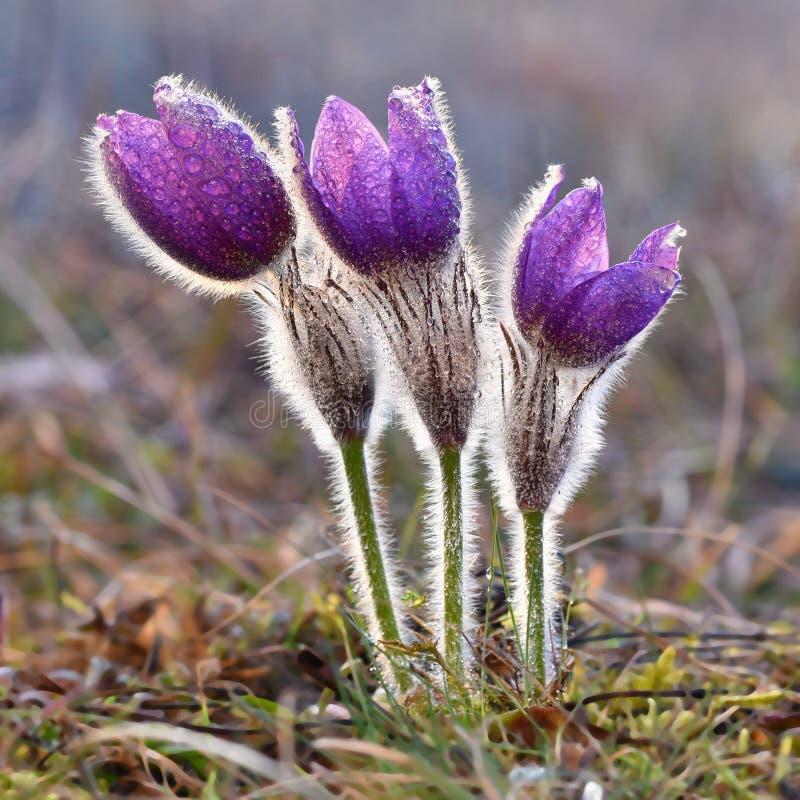 Schöne blühende Frühlingsblumen Natürlicher farbiger unscharfer Hintergrund (Pasque Flowers - Pulsatilla grandis) lizenzfreies stockfoto