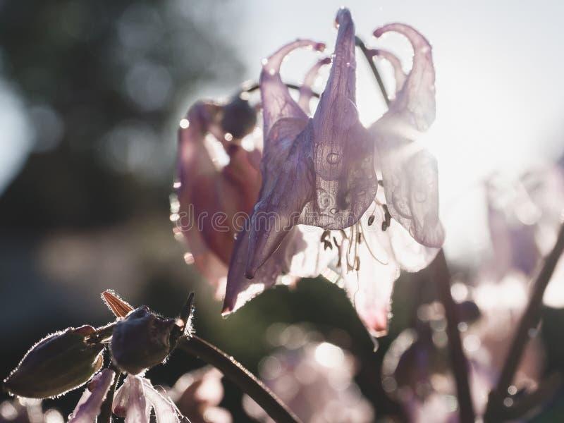 Schöne, blühende Glockenblume lizenzfreie stockbilder