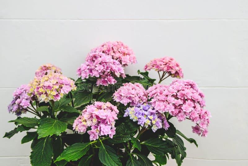 Schöne blühende Hortensieblume in einem Topf vor einer weißen Wand stockbilder