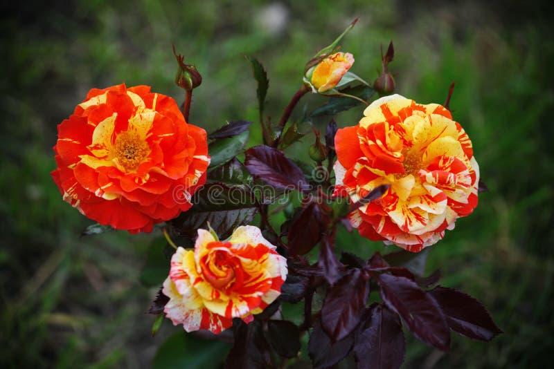 Schöne blühende Knospe drei Blühender gelber roter ankleidender grüner Tee des Gartens stieg stockbild