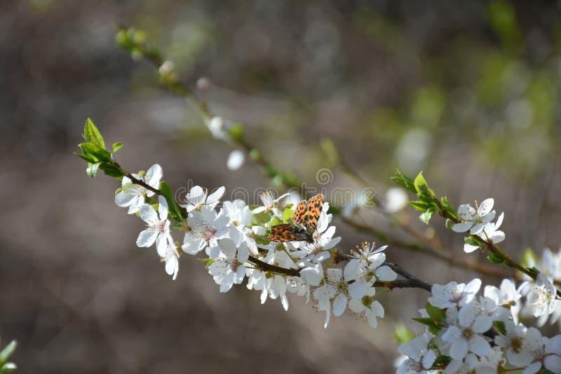 Schöne blühende Niederlassung des Baums mit Schmetterling lizenzfreies stockfoto