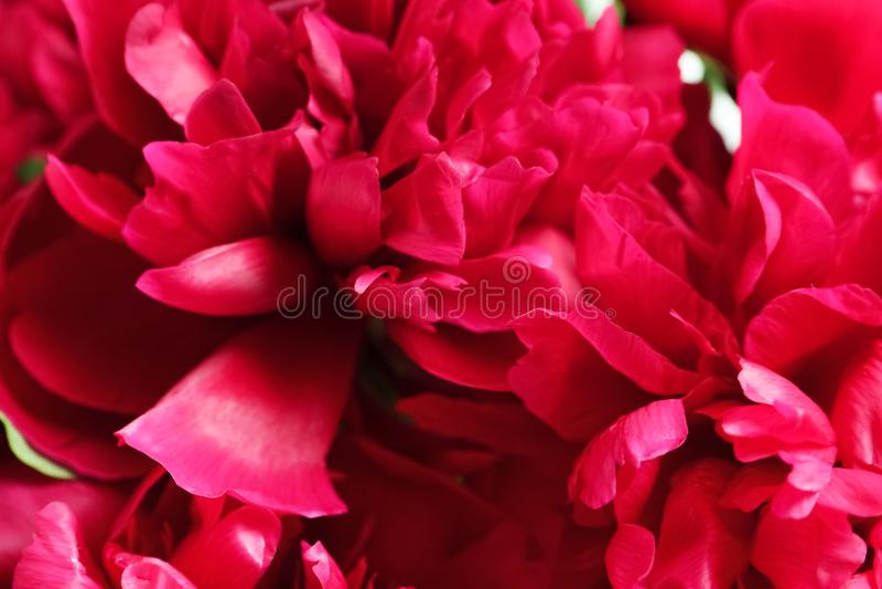 Schöne blühende Pfingstrosenblumen als Hintergrund stockfotos