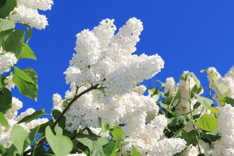 Schöne blühende weiße Flieder gegen den blauen Himmel stockfotos
