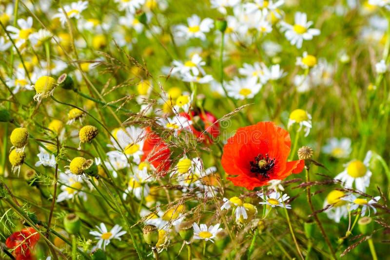 Schöne blühende Wiese mit Mohnblumen und Gänseblümchen an einem hellen sonnigen Sommertag stockbilder