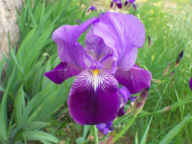 Schöne blau-violette Iris blüht auf einem grünen Gebiet, lizenzfreie stockfotografie