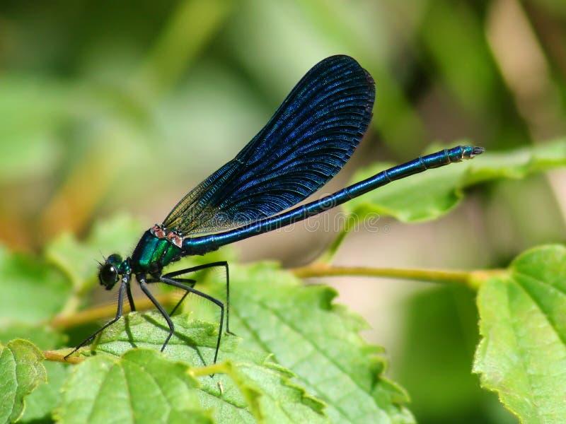 Schöne blaue glänzende Libelle stockfoto