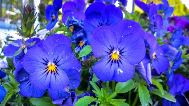 Schöne blaue Pansies in voller Blüte stockfotografie