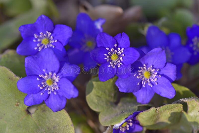 Schöne blaue Schneeglöckchen Hepatica lizenzfreie stockbilder