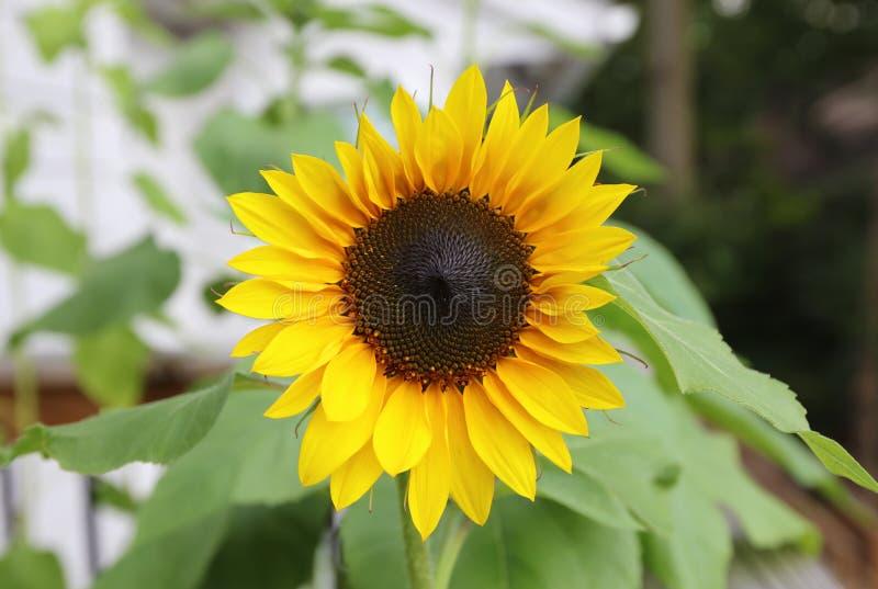 Schöne Blume der Sonnenblume gelb und grün im Hintergrund während des Sommers bei Michigan lizenzfreies stockbild