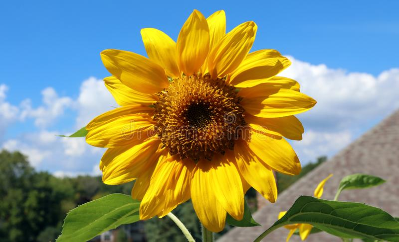 Schöne Blume der Sonnenblume gelb und grün im Hintergrund während des Sommers in Michigan lizenzfreie stockbilder