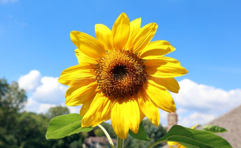 Schöne Blume der Sonnenblume gelb und grün im Hintergrund während des Sommers in Michigan stockbild