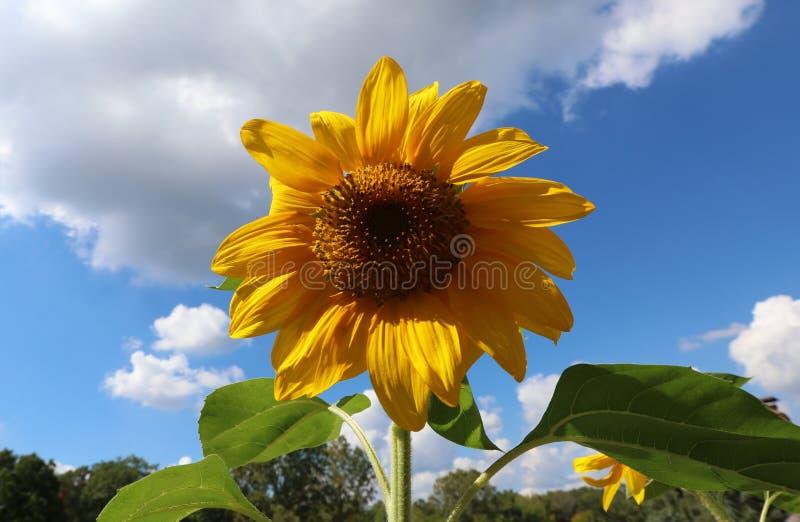 Schöne Blume der Sonnenblume gelb und grün im Hintergrund während des Sommers in Michigan stockfotografie