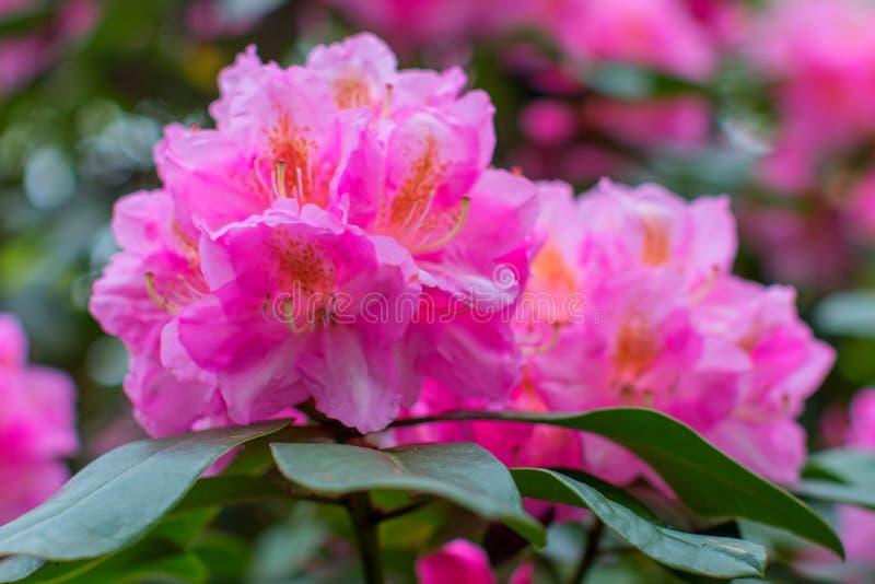 Schöne Blume des Rhododendrons stockfotos