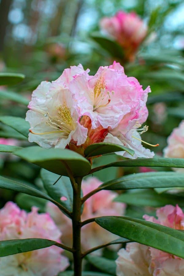 Schöne Blume des Rhododendrons stockbilder