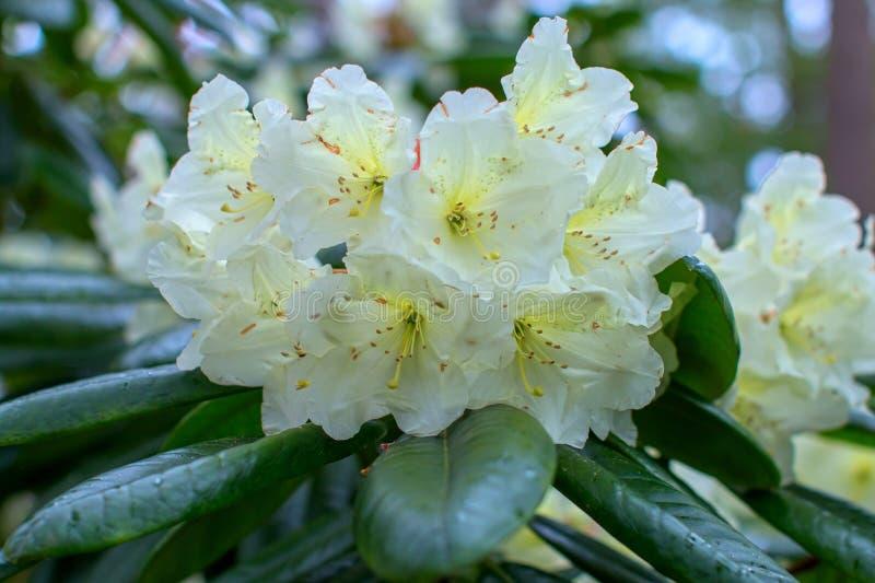 Schöne Blume des Rhododendrons lizenzfreie stockfotografie