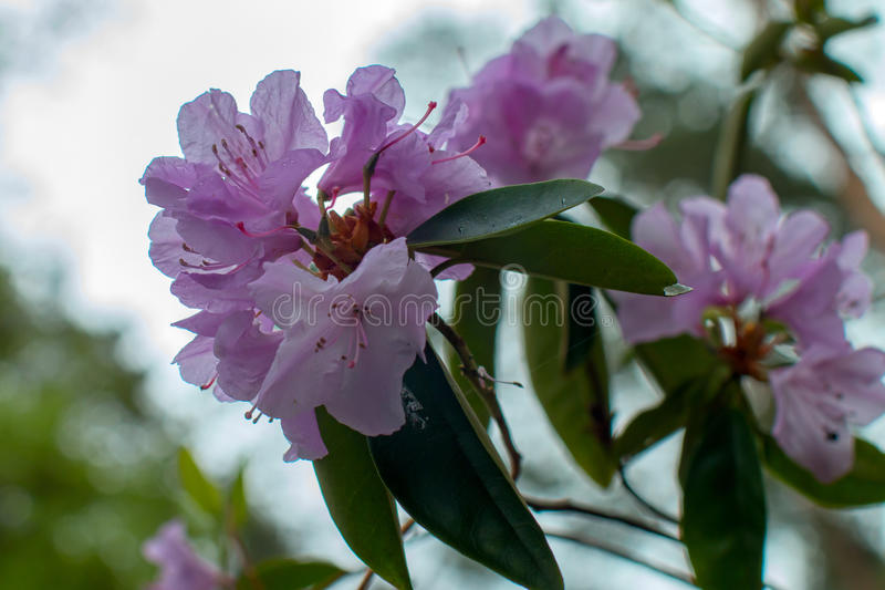 Schöne Blume des Rhododendrons lizenzfreies stockbild