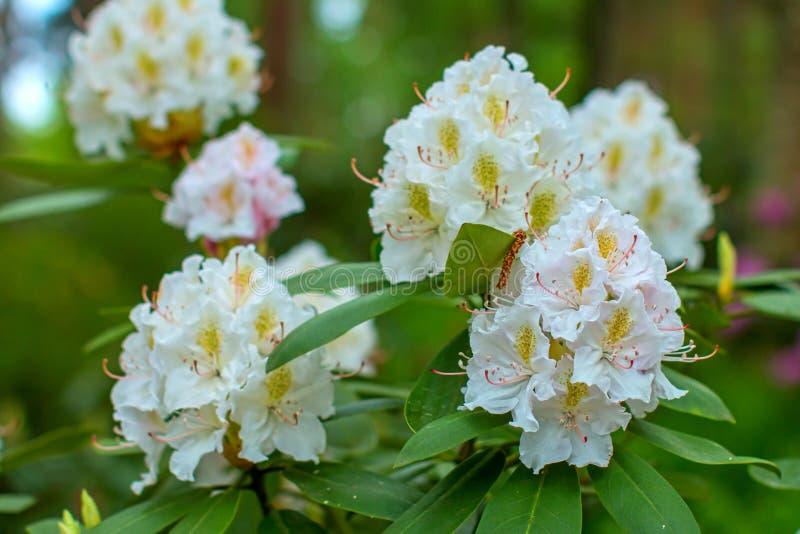 Schöne Blume des Rhododendrons lizenzfreie stockbilder