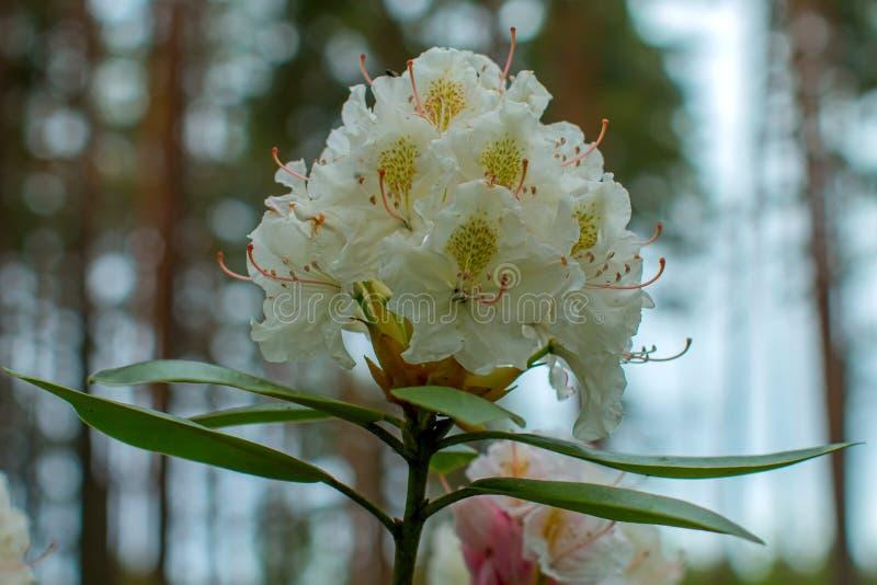 Schöne Blume des Rhododendrons stockbild