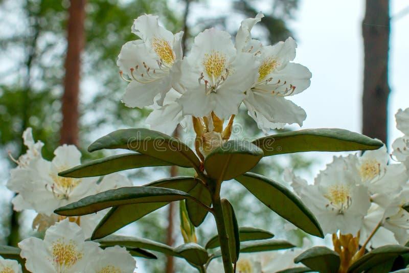 Schöne Blume des Rhododendrons stockfotografie