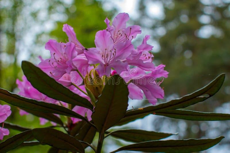 Schöne Blume des Rhododendrons stockfoto