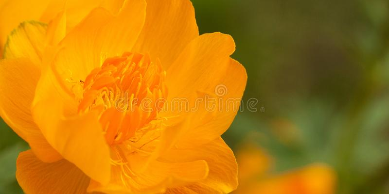 Schöne Blume eines gelben Trollius stockfoto