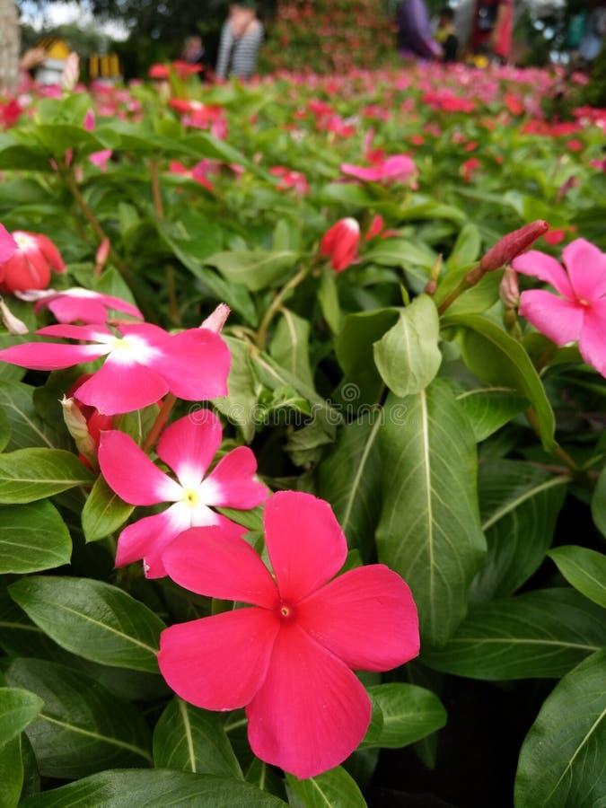 Schöne Blume in malaysischer Landwirtschaft, in Gartenbau u. in Agrotourism Asiens stockfotos