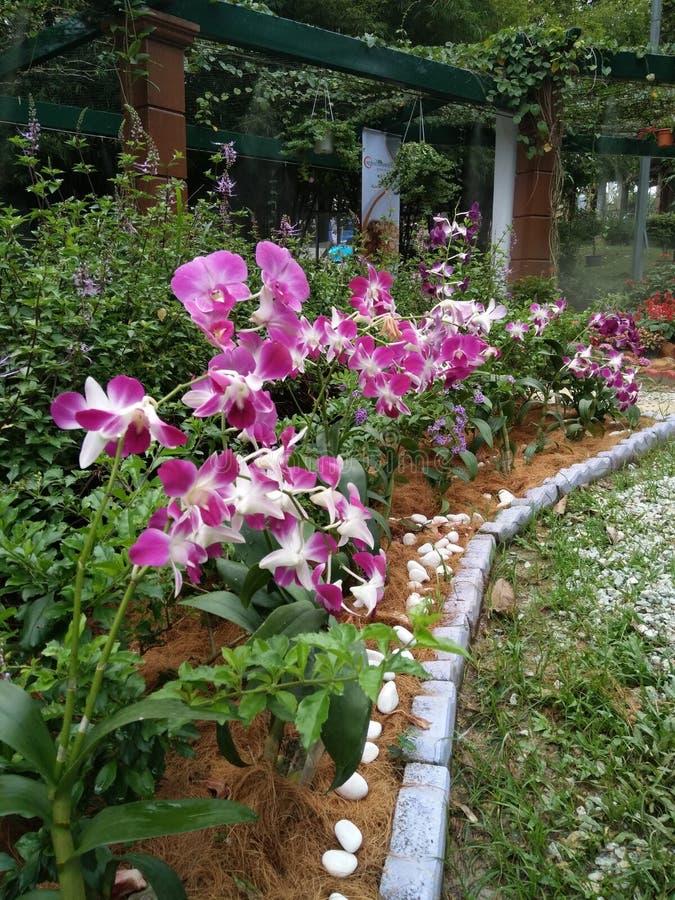 Schöne Blume in malaysischer Landwirtschaft, in Gartenbau u. in Agrotourism Asiens lizenzfreie stockfotografie