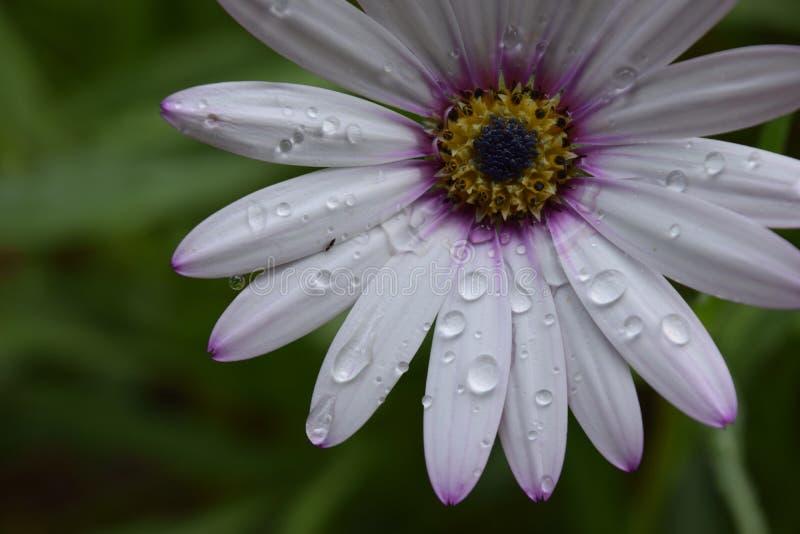 Schöne Blume mit Wassertropfen nach Regen lizenzfreie stockfotografie