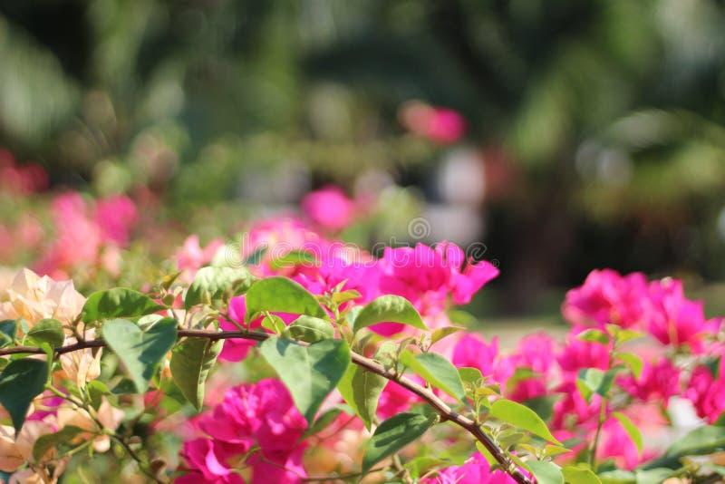 Schöne Blume Suphanburi lizenzfreies stockbild