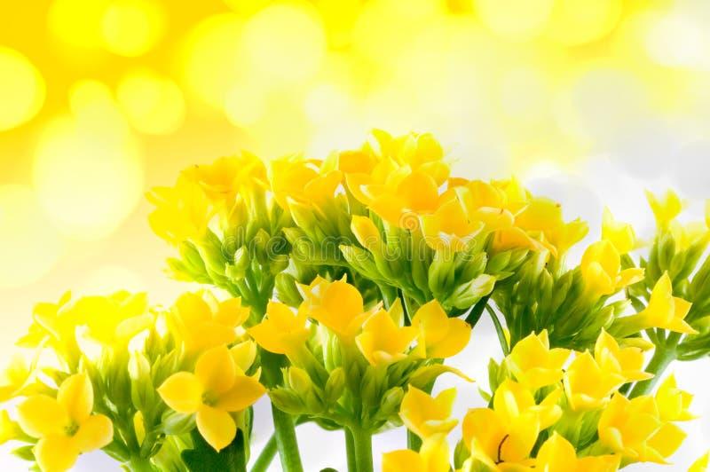 Schöne Blume von kalanchoe lizenzfreie stockfotos