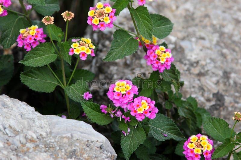 Schöne Blumen in den Steinen lizenzfreie stockfotos