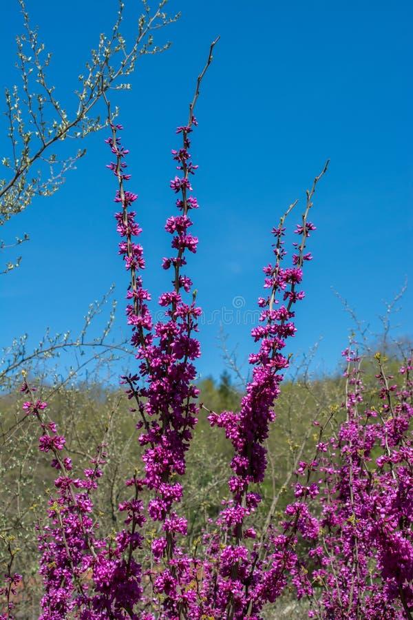 Schöne Blumen der Baumblüten-Blüte im Frühjahr stockbild