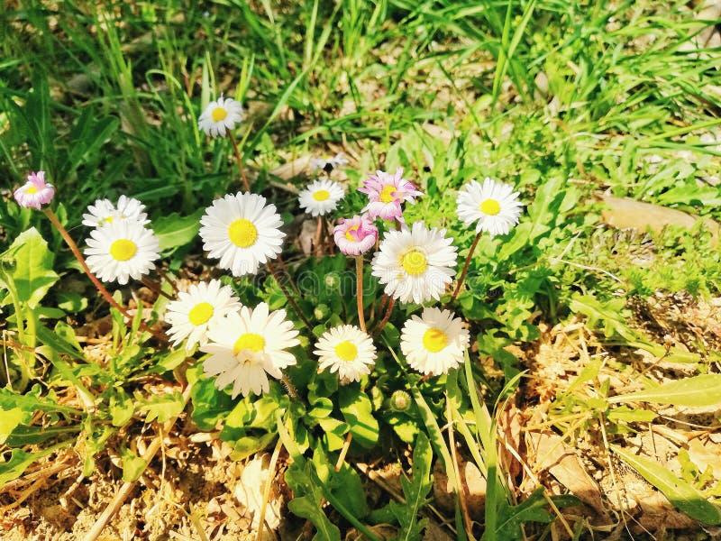 Schöne Blumen der Kamille in der Vorfrühlings-, weißer und rosader kamille morgens Sonne stockfotos