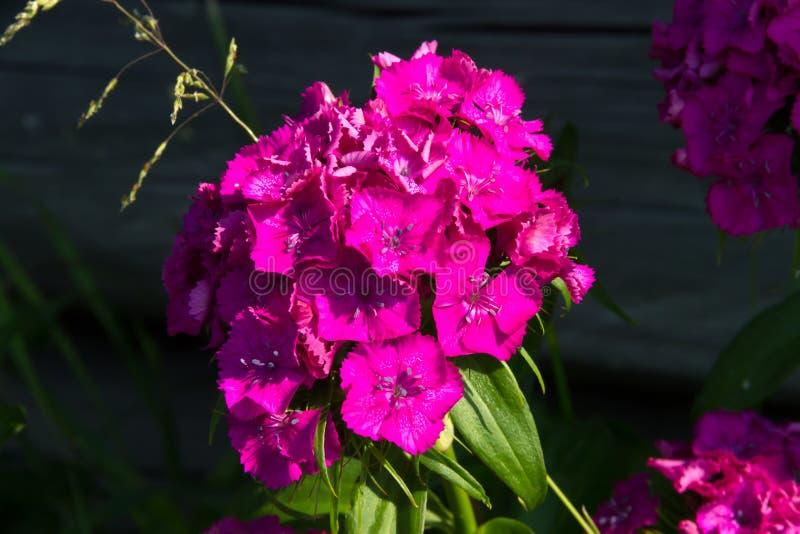 Schöne Blumen der türkischen Gartennelke im sonnigen Garten des Sommers stockfoto