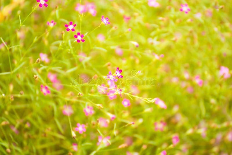 Schöne Blumen in der Zeit des Blumengartens morgens thailand stockfoto