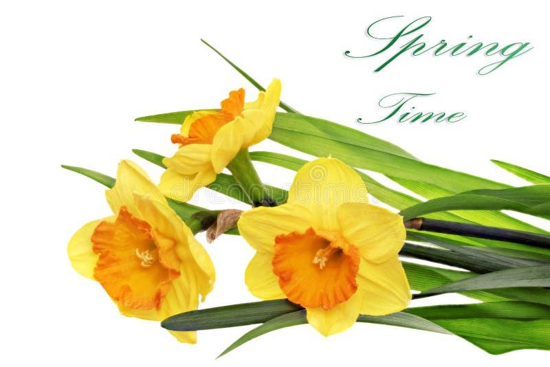 Schöne Blumen des Frühlinges drei: orange Narzisse (Narzisse) stockbild