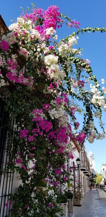 Schöne Blumen haben an Santo Domingo Überfluss lizenzfreies stockfoto