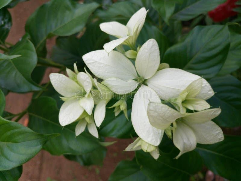 schöne Blumen in Sri Lanka stockbild