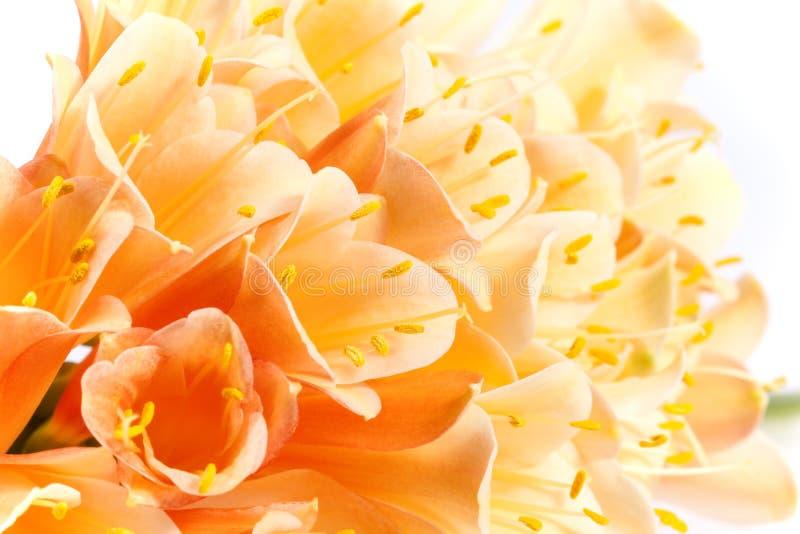 Schöne Blumen von Clivia-miniata, Abschluss oben stockbild