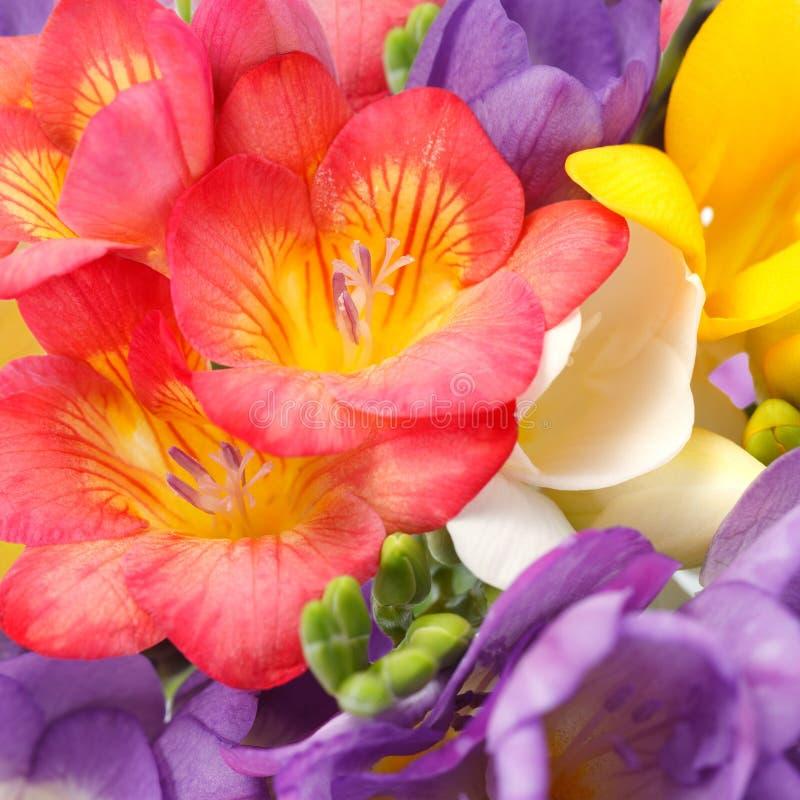 Schöne Blumen von Freesia lizenzfreie stockfotografie