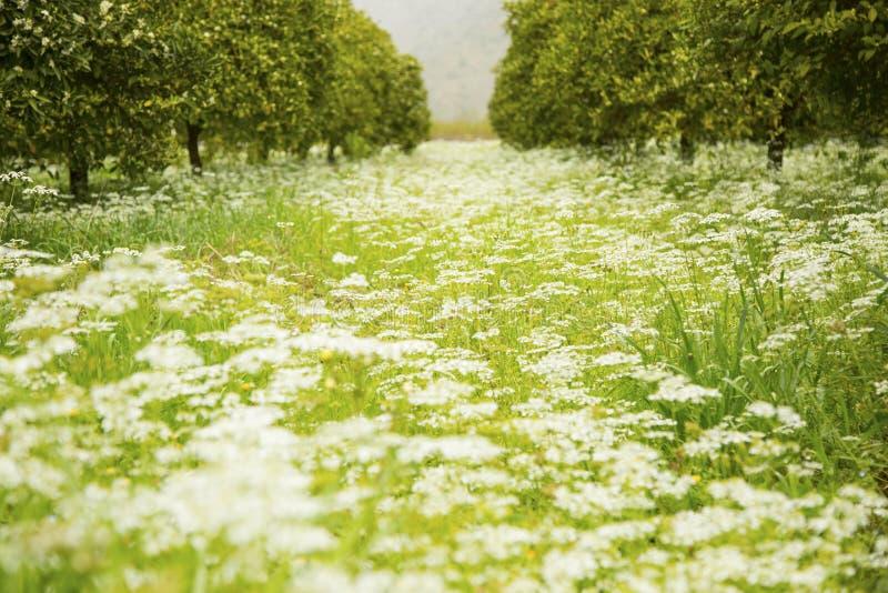 Schöne Blumenwiese im Frühjahr umgeben durch Orangenbäume stockbilder