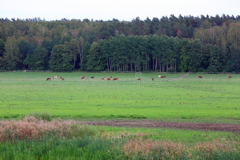 Schöne bunte Ansicht der Naturlandschaft auf Sonnenuntergang Gruppe Kühe auf grüner Weide mit Bäumen des Waldes auf Hintergrund stockfoto